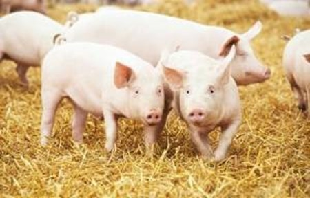 Picture for category Pig Identification