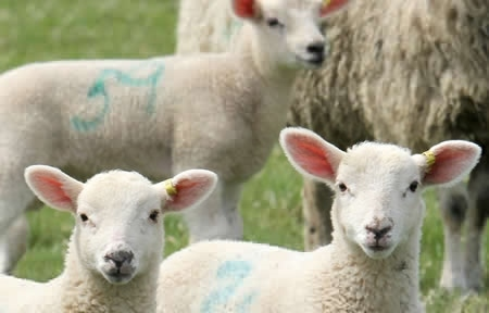 Picture for category Sheep and Goat Tags